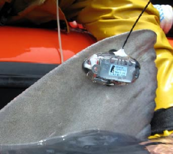A SPOT tag on the dorsal of a tiger shark is contributing to U of Hawaii's Shark Research.