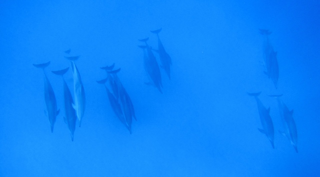 Spinner Dolphins January 25th